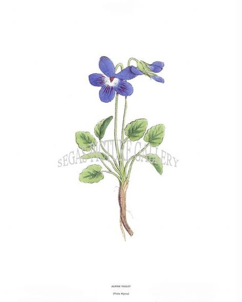 Fine art print of the Alpine Violet Viola Alpina by J C Weber